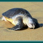 Liberando Tortugas Marinas (I) – La Llegada al Campamento