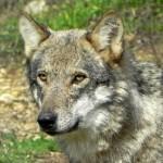 Firma en Change.org para parar el exterminio del lobo en el Barbanza