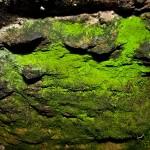 El musgo Schistostega pennata, el tesoro luminoso (II): la biología
