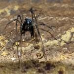 Ischyropsalis hispanica, otro tesoro oculto en las minas del Barbanza