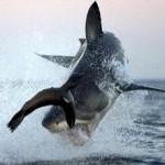 Al encuentro del Gran Tiburón Blanco