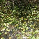 Marsilea quadrifolia, una joya acuática relíctica en Ourense