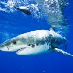 El tiburón cigarro se atreve con el tiburón blanco