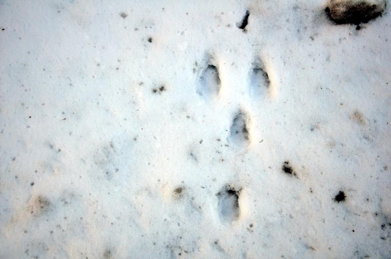 huellas liebre nieve