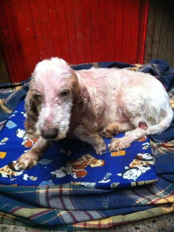 Julián, perro maltratado en Rianxo