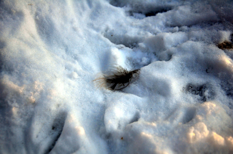 Pluma de un búho en la nieve