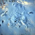 Fauna y flora del Max Planck: Rastros en la nieve (II), los búhos