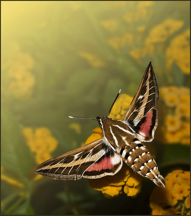 La esfinge colibrí