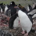 Macaroni, el pingüino punk