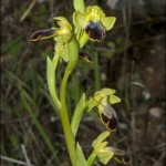 La escurridiza Ophrys fusca subsp.bilunulata