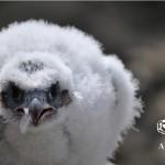 El tráfico ilegal de aves rapaces en el Barbanza