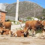 La Vaca Cachena, pura alma gallega