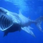 El tiburón peregrino, el segundo pez más grande del mundo