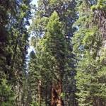 El presidente, uno de los mayores árboles del mundo