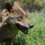 Preguntas sobre el exterminio del lobo