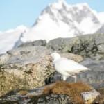 Paloma Antártica (Chionis alba)