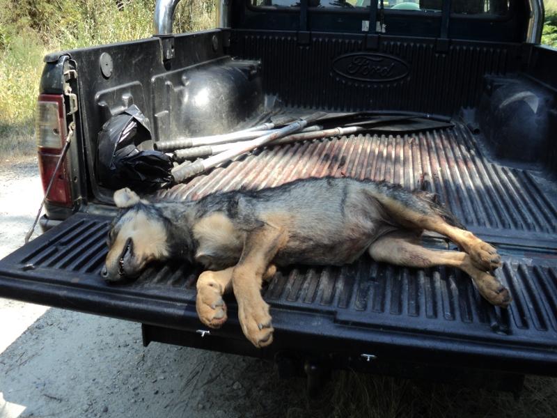 cachorro lobo asesinado barbanza
