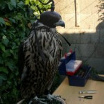Colocación de arnés a un halcón