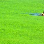 Las playas verdes de China: el problema de la eutrofización