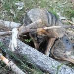 Asesinos de Lobos en el Barbanza (XIII): los calcetines blancos