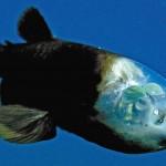 Un pez con la cabeza transparente