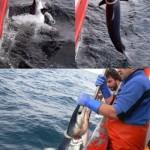 En el oceáno abierto: marcaje con transmisores y distribución de depredadores-presa
