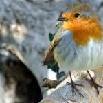 El petirrojo, el pájaro de las noticias