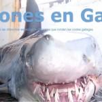 Tiburones en Galicia cumple un año!