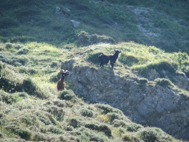 Las cabras no miran con cierta incredulidad