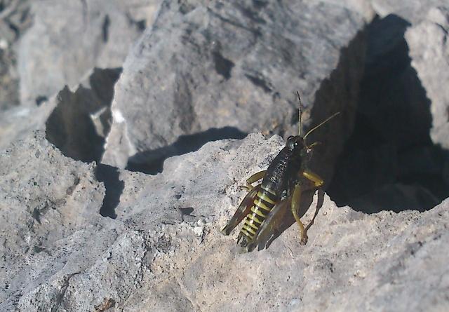 El saltamontes trata de protegerse aparentando se una abeja