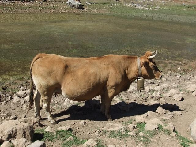 Los prados estás muy secos pero las vacas se ven bien mantenidas