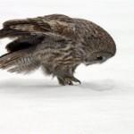 Astucia en la nieve: el cárabo lapón II
