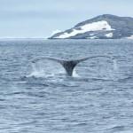 El tribunal de la Haya declara ilegal la caza científica de ballenas