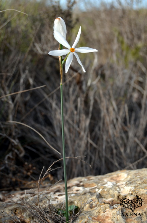 Narcissus obsoletus