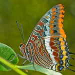 Criaturas aladas XVIII: La mariposa del madroño