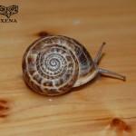 El fascinante mundo de los caracoles: Eobania vermiculata