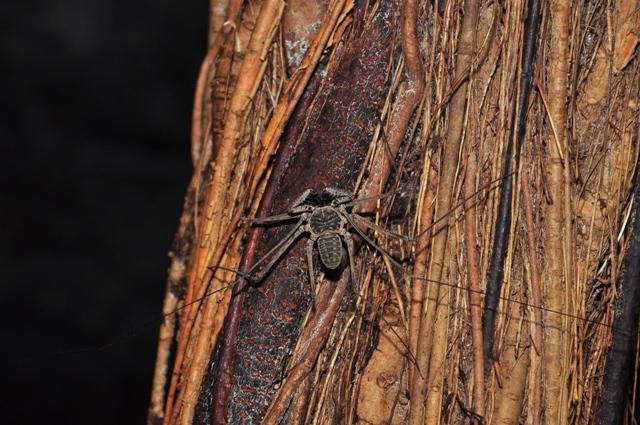 La araña látigo recibe su nombre por las extremidades hiperdesarroyadas