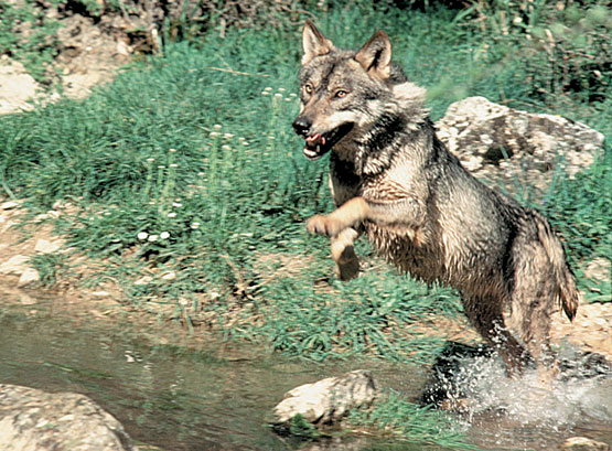 Lobo-ibericoreportajes_org