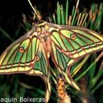 Graellsia isabelae, todo un simbolo de la entomología española