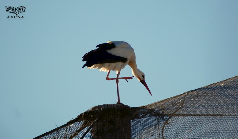 Cigüeña blanca murcia
