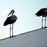 La cigüeña blanca regresa a la Región de Murcia