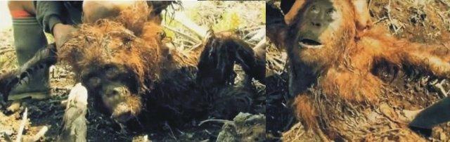 orangutanes fango