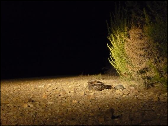 Forma habitual en que los chotacabras se posan junto a los arbustos del borde de los caminos en los que se alimentan. En el caso de la foto, la planta es un romero (Rosmarinus officinalis) de porte medio.
