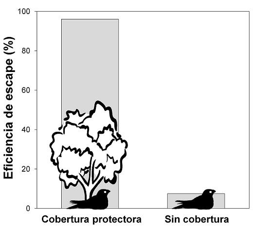 Eficiencia de escape del chotacabras pardo a ataques nocturnos simulados con protección (n = 25 intentos) y sin (n = 40 intentos) protección de la cobertura vegetal.