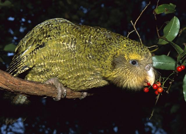 Kakapo comiendo