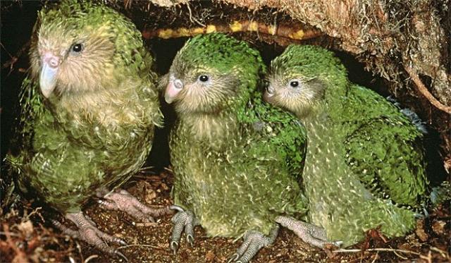 Kakapo madre y crias