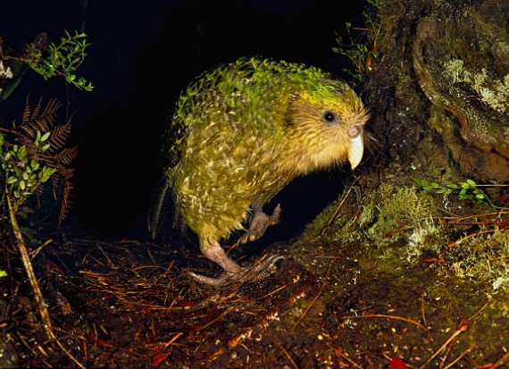 Kakapo sendero