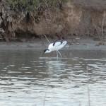 La avoceta ( Recurvirostra avosetta ), elegante y distinguida