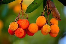 frutos de madroño maduros y listos para la recolección.