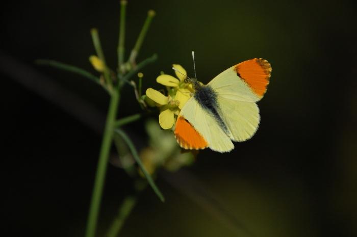 ejemplar macho de Anthocharis belia
